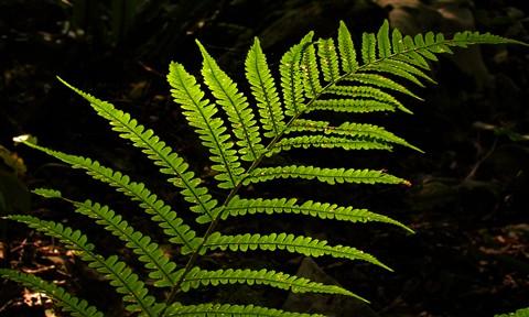 Biljke za stan -paprat