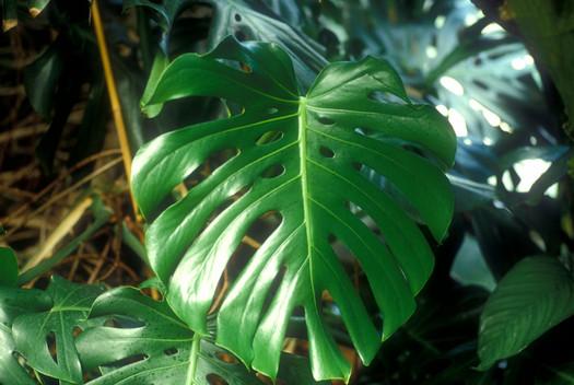 Biljke za stan - filodendron