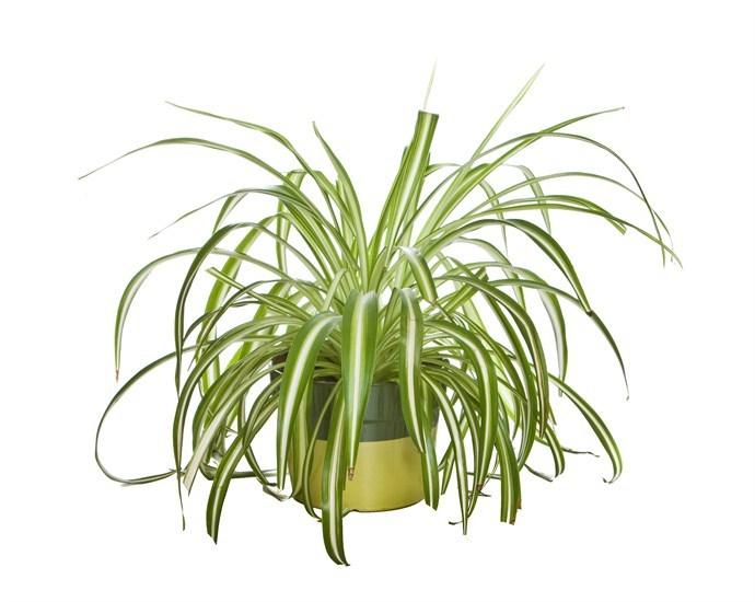 Biljke za stan zeleni ljiljan